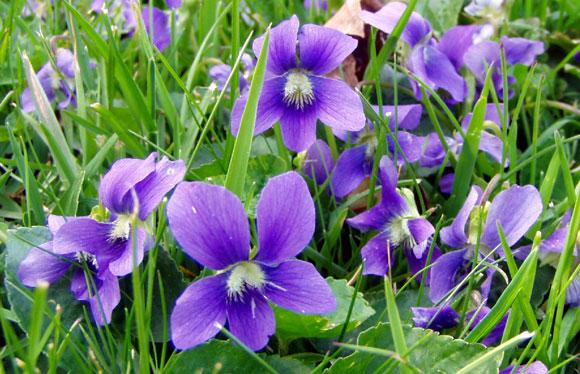 violets580